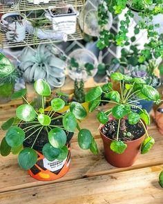 Pilea Peperomioides salah satu tanaman hias paling favorite di kalangan pencinta tanaman.