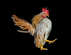 The Bizarre World of Chicken Beauty Pageants Photographed by Ernest Goh