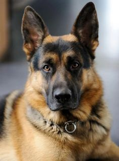 A perfect example of the GSD,  which is the closest breed to the Perfect Dog