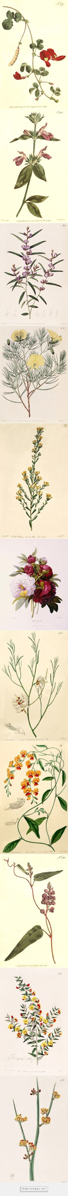 Vintage Botanical Illustrations // Pierre Joseph Redouté. He's one of my favorites.