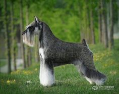 Perfect Miniature Schnauzer