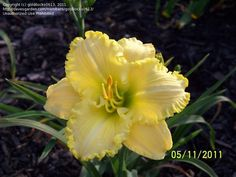 View picture of Daylily 'Ferengi Gold' (Hemerocallis) at Dave's Garden.  All pictures are contributed by our community.