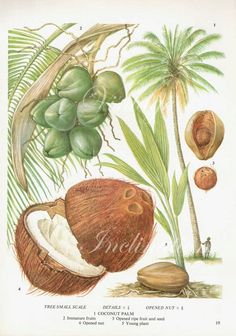 Items similar to Coconut Fruit Chart Food Botanical Kitchen Illustration Palm Tree Tropical lithograph 19 on Etsy Botanical Drawings, Botanical Illustration, Botanical Prints, Illustration Art, Illustrations, Botanical Kitchen, Impressions Botaniques, Coconut Palm Tree, Illustration Botanique