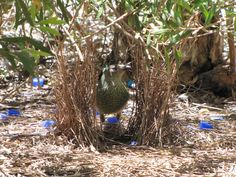 Bowerbird   Uccello giardiniere