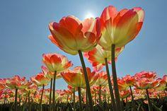 Colorful orange tulips