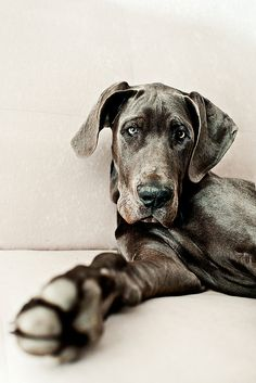 great dane #one day a great dane puppy needs to be in our house. @Christine Ballisty Ballisty Kelly
