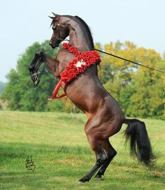 Arabian horse rearing up. So pretty.
