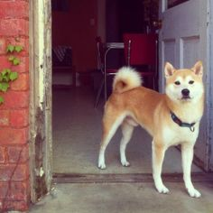 Shiba Inu - Working Group