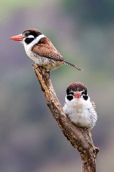 White-eared Puffbird by Arlei Bertani on 500px