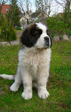 Saint Bernard Mountain Dog * Click image for more details about playing with pet dogs.