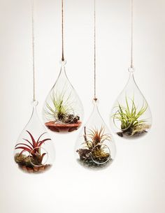 Hanging Aeriums - Wren's Nest shape with tillandsia air plants