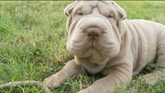 """a #sharpei momma says that EcoEars is... 5 out of 5 stars """"Great product. I have a Chinese sharpei and it cleaned her ears right up when nothing else would touch them!!! Thank you so much."""" ByDanielleon August 4, 2015 Verified Purchase"""