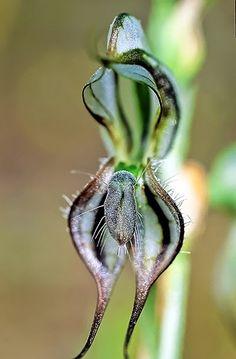 Pterostylis Excelsa - an orchid native to australia. Unique Flowers, Exotic Flowers, Green Flowers, Amazing Flowers, Rare Orchids, Paludarium, Unusual Plants, Orchidaceae, Foliage Plants