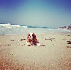 Cavalier King Charles ~ Malibu Beach ~ waves