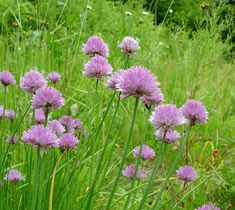 "Allium schoenoprasum - wild chives | Sun to light shade | to 8"" | By Arthur Haines. ~ Copyright © 2015. ~ arthurhaines[at]wildblue.net"