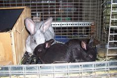 Nest Box Info - Brick House Acres Rabbitry Rabbit Nesting Box, Nesting Boxes, Meat Rabbits, Rabbit Colors, Nest Box, Genetics, Cage, Bunnies, Brick