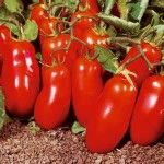 Quality san marzano tomato seeds at The best tomato variety for making sauces. Cheapest seeds online, guaranteed results. Fruit Seeds, Tomato Seeds, Fruit Plants, Tomato Plants, Plum Tomatoes, Heirloom Tomatoes, Home Garden Plants, House Plants, San Marzano Tomatoes