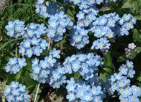 Nu-ma-uita ( Myosotis ) Flowers, Plant, Royal Icing Flowers, Flower, Florals, Floral, Blossoms