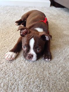 Cute Boston Terrier Chocolate Made In America