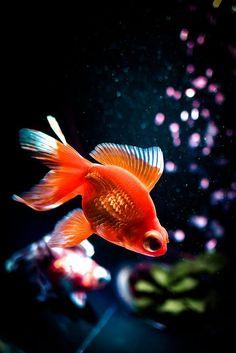 poisson rouge .. ⊰✿ And I'm A ღ ℓittle ღ Fish .. X ღɱɧღ