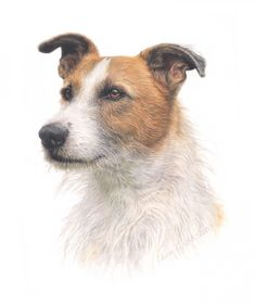 Dogs in Art at the StockBridge Gallery - Portraiture Sample of Tosh Jack Russell in Coloured Pencil by Aron Gadd, Portraiture Sample Not for Sale (http://www.dogsinart.com/products/Portraiture-Sample-of-Tosh-Jack-Russell-in-Coloured-Pencil-by-Aron-Gadd.html)