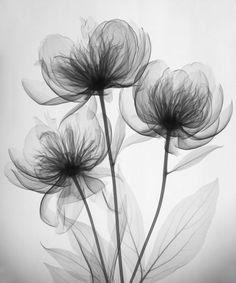 L'idée de fleurs en traits très fins. Xray Art - Merrill Raikes