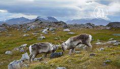 Бодание диких северных оленей
