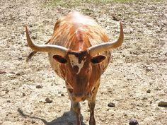 Spotted Long Horn Cattle