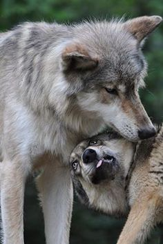 A wolf pup greets a more dominant adult pack member, source. Wolf Husky, Wolf Pup, Wolf Photos, Wolf Pictures, Coyotes, Thor, Wolf Love, She Wolf, Beautiful Wolves