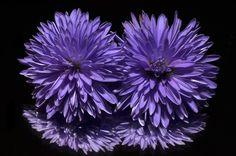 Aster, Flor, Púrpura