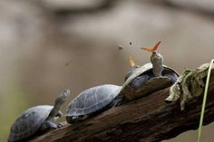A perfectly-timed picture of a magic moment between turtles and butterflies. - All rights reserved / Wikimedia