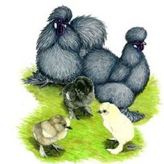 Buy Blue Silkie Bantam Chicks, Blue Silkie Bantam Chickens for Sale, Blue Silkie Bantam Chicken Image Photo