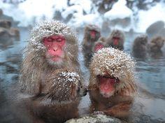 Japanese monkeys relaxing in a hot spring ( Jigokudani Yaen koen,Nagano ) ・「地獄谷野猿公苑」露天風呂