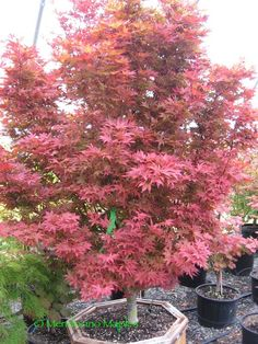 A wonderful new red dwarf Japanese maple - Acer palmatum Rhode Island Red is going to be the new contender for a favorite along with Pixie. | Mendocino Maples Nursery