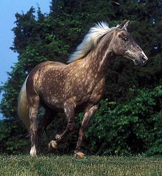 Black Silver Rocky Mountain Horse. Also in buckskin and chocolate!