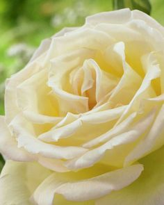 Morning fragances of roses