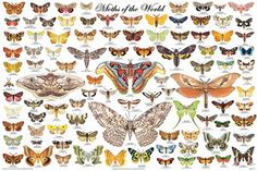Our  					beautiful Butterflies of the World has always been an  					extremely popular title. Now it has a companion which uses  					the same graphic design, resulting in a visually striking  					matched set. The Lepidoptera order / clade contains the butterflies and moths.  					There are over 180,000 known species. In general,  					butterflies fly during the day and moths fly at night. The  					most obvious physical difference between them is the  					feelers, or antennae. Most…