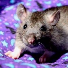 We want to take this moment to introduce to you one of the best kept secrets in the world of exotic companion mammals – rats! Read more.