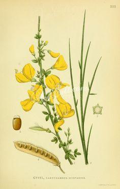sarothamnus scoparius   ...