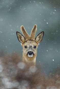Winter roe deer - A beautiful roebuck during wintertime