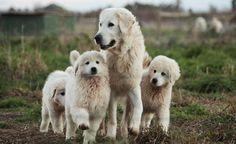 Maremma Dogs in flight