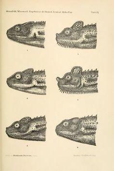 Reptilia, 1912, BioStor