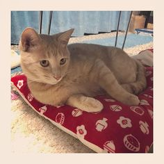 * 新調した猫用ざぶとん お気に召したようで こちらも嬉しい限りです❤️ * ほんとは、可愛い猫ベッドとか 猫鍋とか猫テントとか ハンモックとか愛用してくれる姿が理想だけど。笑 どーも思ったとおりに使ってくれないのが猫さん🐈なんだよねー。笑 #猫あるある * ふつうのブランケットとか ざぶとんとかお風呂マットとか ダンボールがやっぱり好きなんだよね。笑 * #猫#愛猫#まろん#ろんろん #今日のまろん#茶トラ部 #猫のいる生活#茶トラ #にゃんすたぐらむ #にゃんすたぐらまー #にゃんだふるらいふ #ねこすたぐらむ