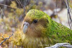 Kakapo photos by Brent Stephenson