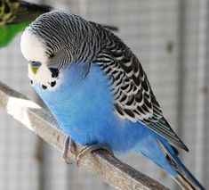 For some reason I am keen on getting a blue budgie.  Would like to call him Frank Zappa.