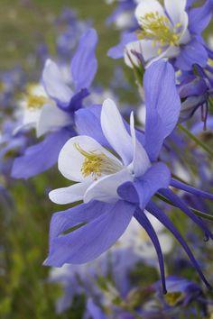 Blue Columbine (by Lynda McKay)