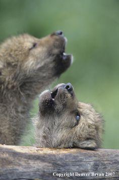 Gray wolf pups howl in habitat, photo by Denver Bryan.