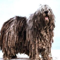 Bergamasco Shepherd | 21 Awesome Dog Breeds You've Never Heard Of And Need To Know About Immediately