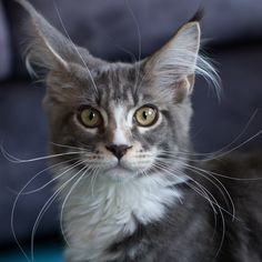 25 april 2012: 4 maand oud. Maine Coon
