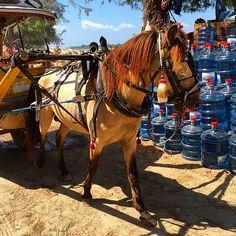 Horse & Carriage Adventures Begin! #horse #horseandcarriage #horsedrawn #cidomo #horseandcart #horsedrawncart  #gilit #gilitrawangan #gili #giliisland #giliislands #gilitrawanganisland  #indonesia